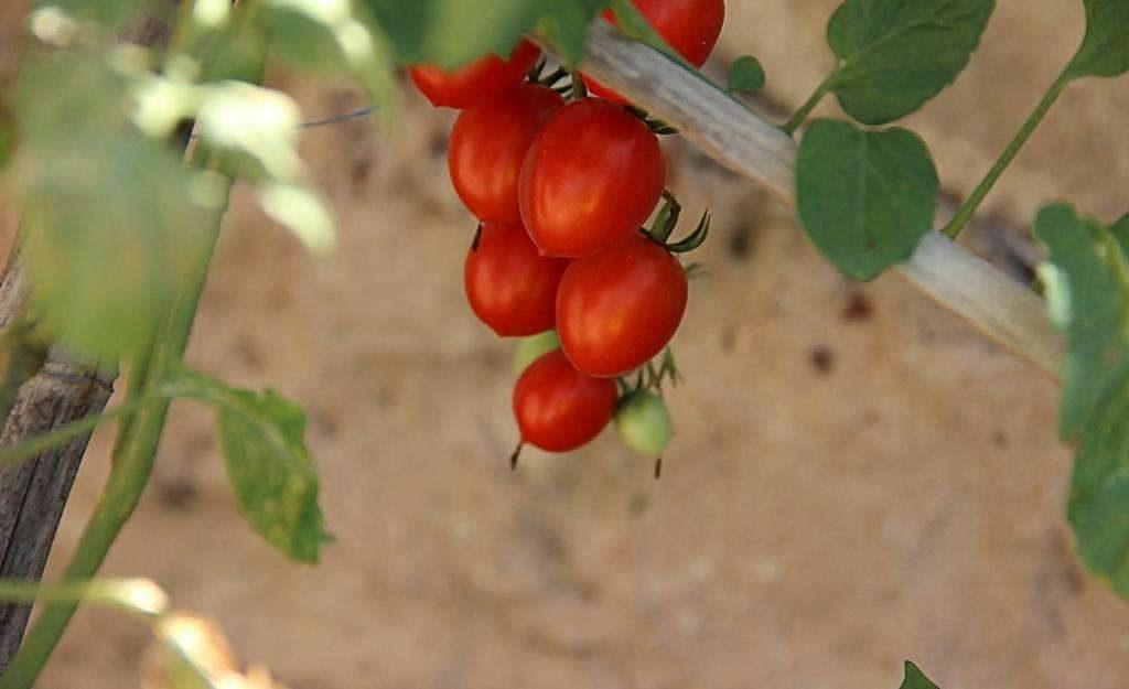 圣女果的灌溉